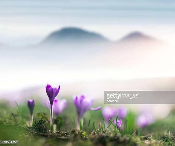 Eerste Crocus bloemen In het voorjaar