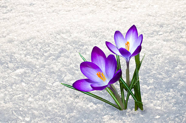 Free spring flower snow images pictures and royalty free stock first crocus flowers mightylinksfo