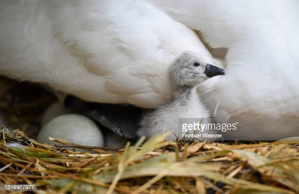 First cygnets of the year hatch at Abbotsbury Swannery on May 08, 2021 at Abbotsbury, England. It is the only publicly accessible colony of nesting...