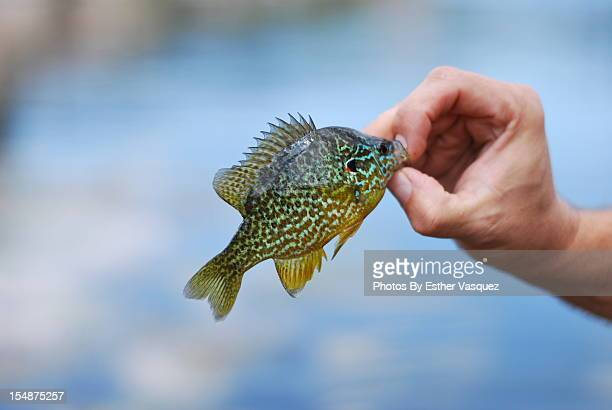 first day, first cast, first fish of the day. - freshwater sunfish stock photos and pictures