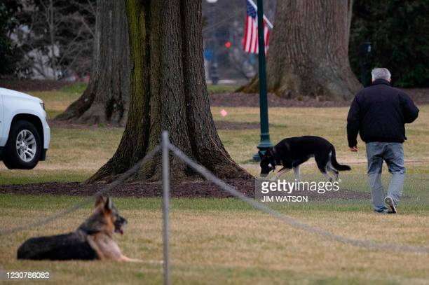 First dogs Champ and Major Biden are seen on the South Lawn of the White House in Washington, DC, on January 25, 2021. - Joe Biden's dogs Champ and...