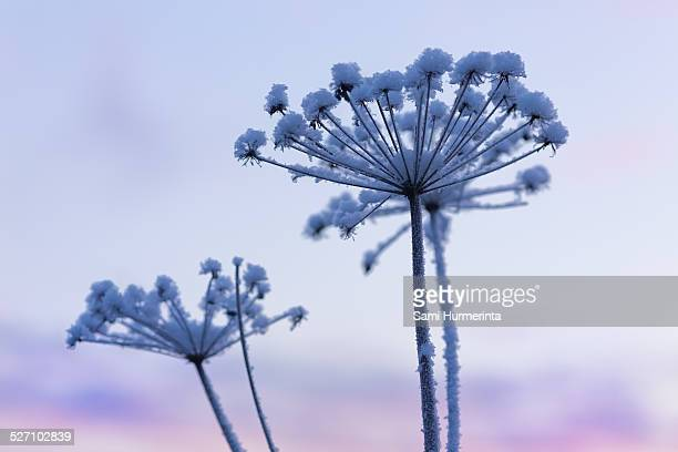 first frost - giant hogweed stock pictures, royalty-free photos & images