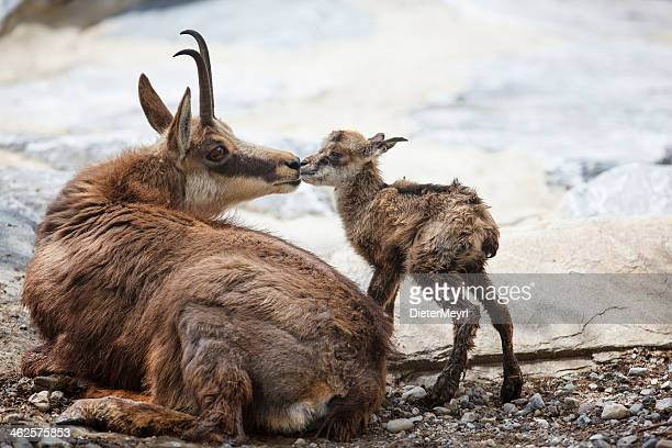 First kiss for newborn chamois (Rupicapra Carpatica)