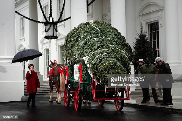First Lady Laura Bush walks towards a twenty foot tall Fraser Fir tree from North Carolina outside the North Portico of the White House on November...