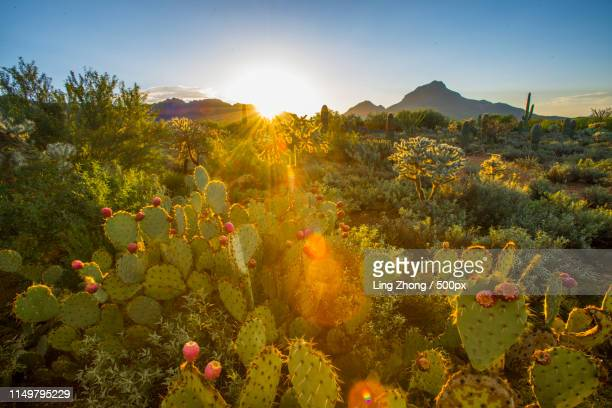 first light in cactus garden - arizona stock pictures, royalty-free photos & images