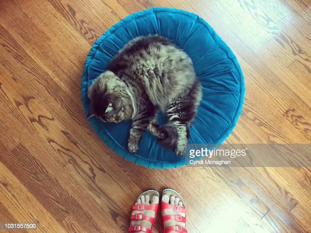 first person perspective of a woman in red sandals looking down at a large maine coon cat asleep on a blue pillow - naughty america stock pictures, royalty-free photos & images