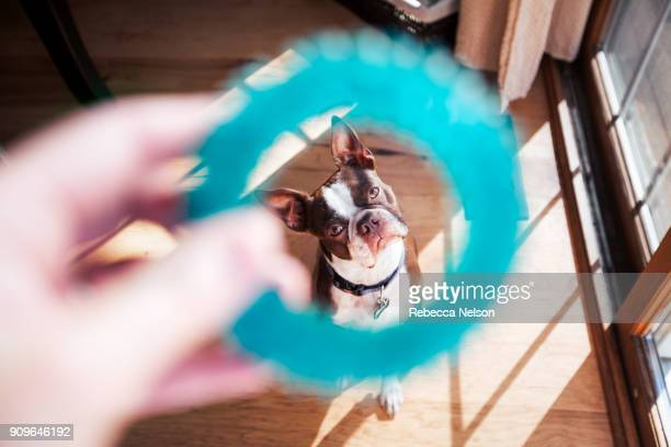 first person perspective of Boston Terrier dog playing with his owner