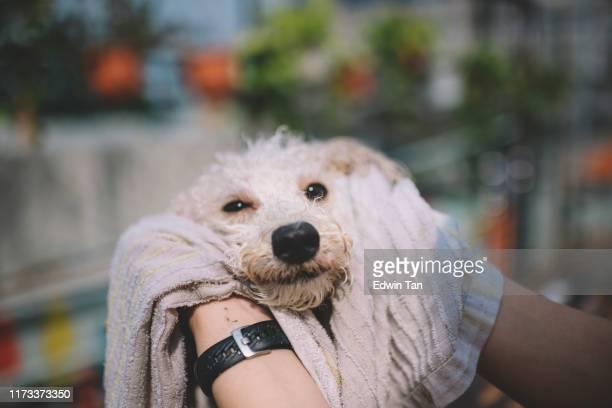 primeira pessoa ver fpv limpeza e limpando limpo em um cão de estimação cachorro poodle seco depois de um banho ao ar livre com toalha - filhote de animal - fotografias e filmes do acervo