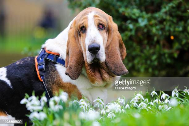 First signs of Spring as a basset hound sits on a lawn with blossoming snowdrops in the foreground in London.