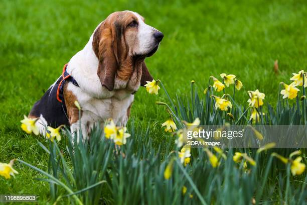 First signs of Spring as a basset hound sits on a lawn with blossoming daffodils in the foreground in London