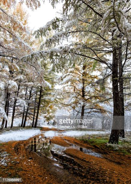 first snow - liu he stock pictures, royalty-free photos & images