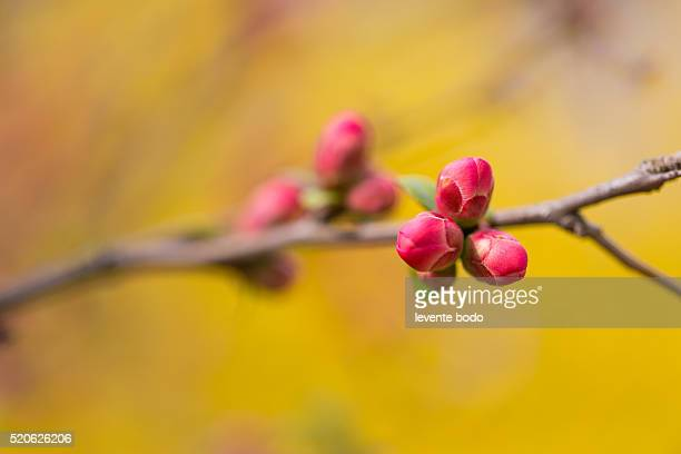 First spring buds on lilac bush, yellow background