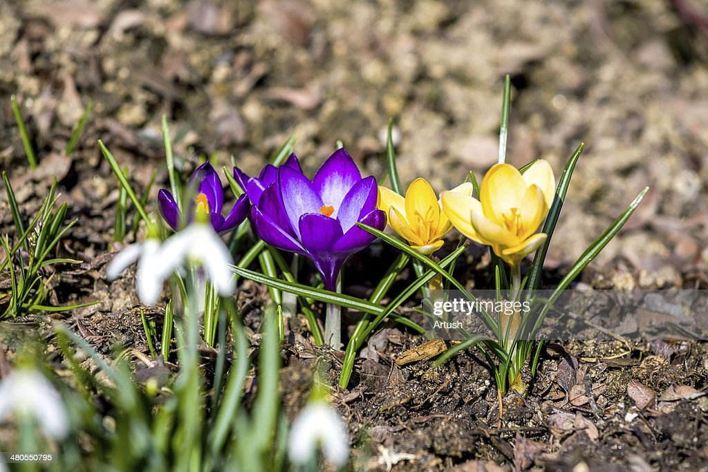 first spring flowers in garden : Stock Photo