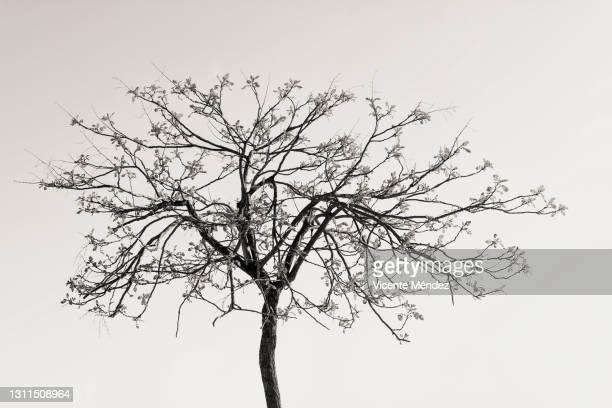 first spring leaves - vicente méndez fotografías e imágenes de stock