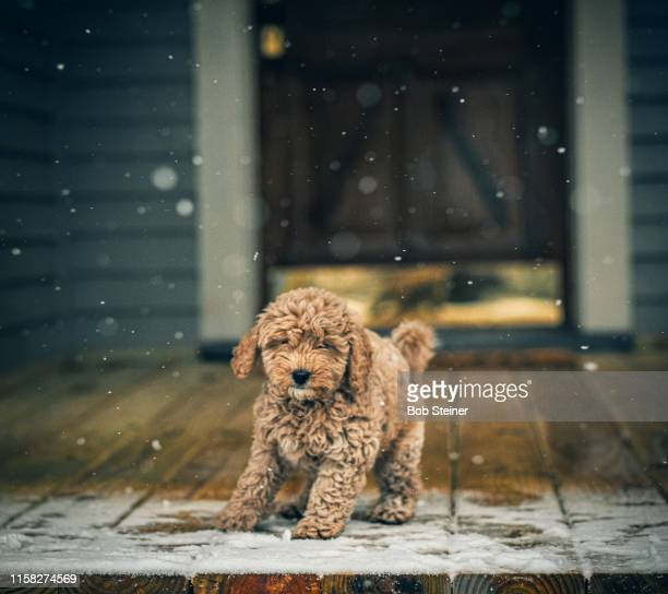 first time for everything - goldendoodle stock photos and pictures