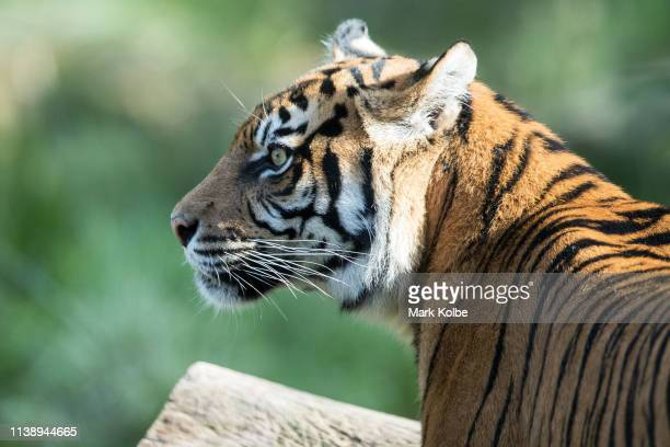 Firsttime mother Kartika is seen as her three Sumatran Tiger cubs are placed on display at Taronga Zoo on March 29 2019 in Sydney Australia The three...