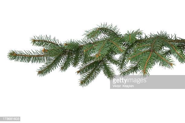 fir-tree branch - tak plantdeel stockfoto's en -beelden