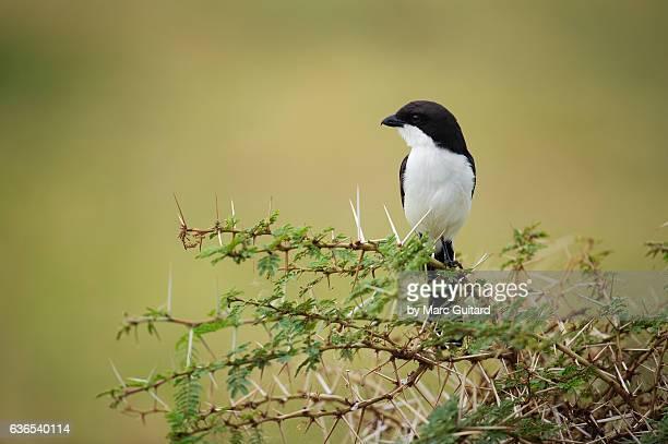 Fiscal Shrike (Lanius collaris), Lake Manyara National Park, Tanzania