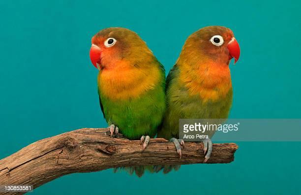 Fischer's Lovebird, pair (Agapornis fischeri)