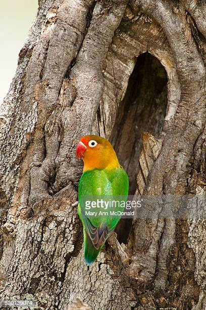 Fischer's Lovebird perched in tree