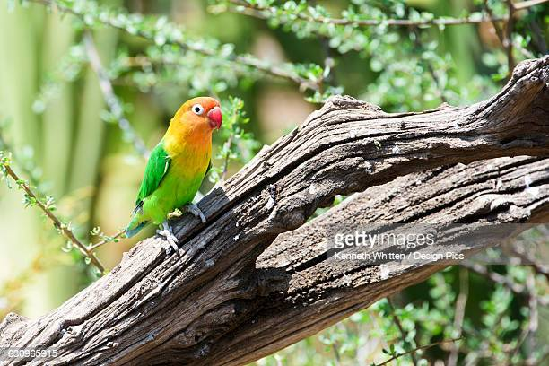 Fischers Lovebird (Agapornis fischeri) perched on dead branch, Ngorongoro Crater Conservation Area