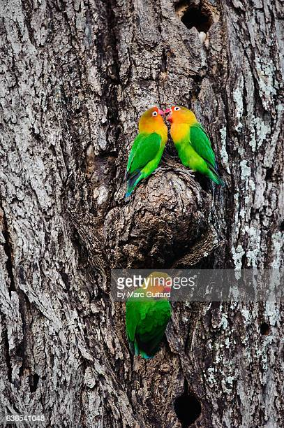 Fischer's Lovebirds (Agapornis fischeri), Ndutu, Ngorongoro Conservation Area, Tanzania