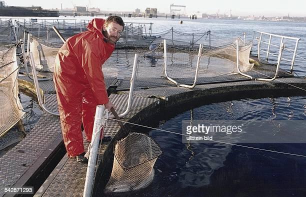 Fischzüchter Tassilo JägerKleinicke holt mit einem Käscher Lachsforellen aus einem Fischzuchtbecken Er ist in Ölzeug gekleidet und steht auf einem...