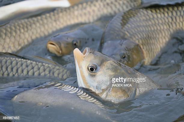 Fish are being catched in the Vrkoc pond near Pohorelice southern Moravia Czech Republic on October 30 2015 AFP PHOTO / RADEK MICA