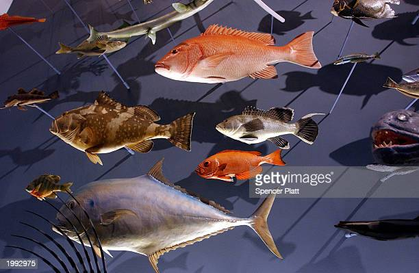 Fish are depicted in an evolutionary diorama in a recently renovated exhibit at the American Museum of Natural History during a media preview May 12...