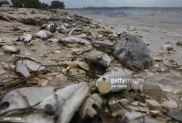 Fish are seen washed ashore the Sanibel causeway after dying in a red tide on August 1 2018 in Sanibel Florida Red tide season usually lasts from...