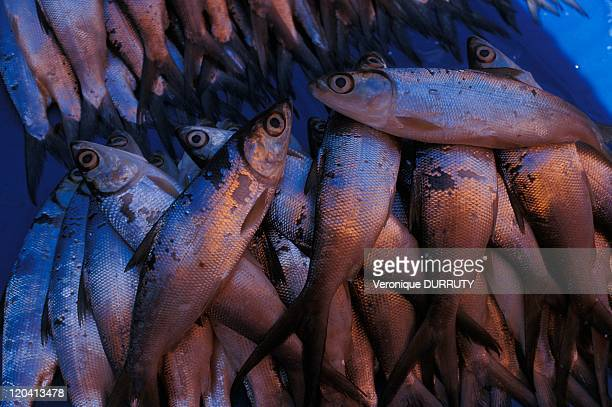 Fish at the Rantepao market in Celebes Indonesia