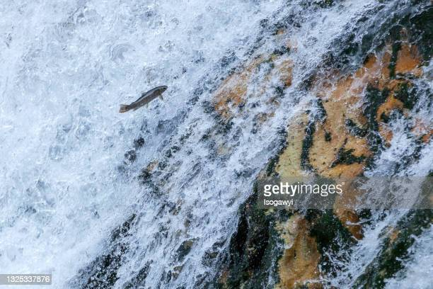 a fish attempting to jump the waterfalls - isogawyi stock pictures, royalty-free photos & images