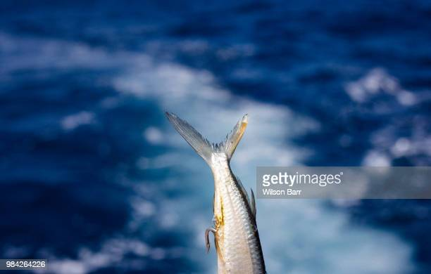 fish bait - barr stock pictures, royalty-free photos & images