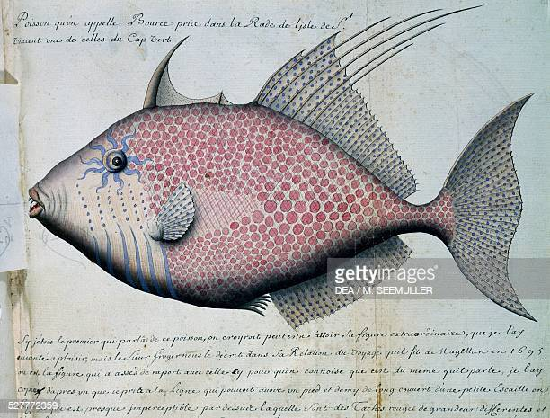 Fish called Bource, Sao Vicente island, Cape Verde, watercolour from the log book by Jacques Gouin de Beauchesne , captain of the Compagnie royale de...