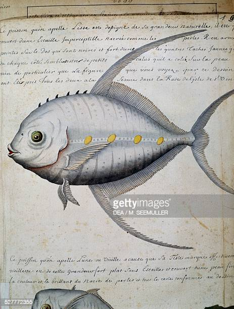 Fish called Lisse, Sao Vicente island, Cape Verde, watercolour from the log book by Jacques Gouin de Beauchesne , captain of the Compagnie royale de...
