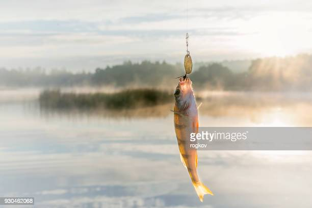 fish caught on bait. - fishing hook stock pictures, royalty-free photos & images