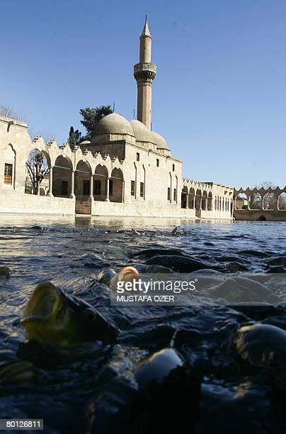 Fish cluster waiting for people to feed them on March 5 in Turkey's southeastern city of Sanliurfa According to both the Bible and Koran it is the...