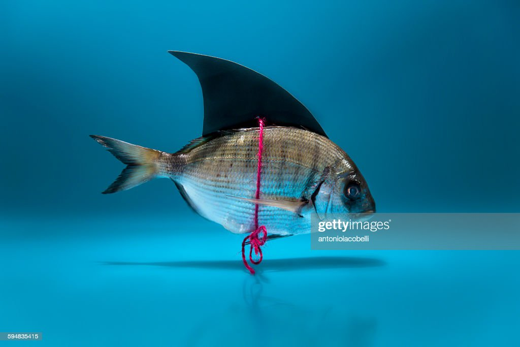 Fish disguised as a shark : Stock Photo