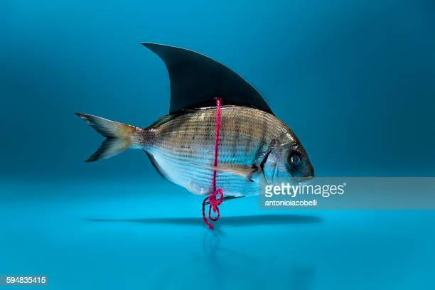 fish disguised as a shark - april fools day stock pictures, royalty-free photos & images