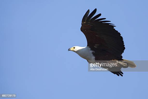 Fish eagle glide in the blue sky hunting fish - Kruger National Park South Africa