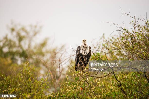 A fish eagle perched on a branch