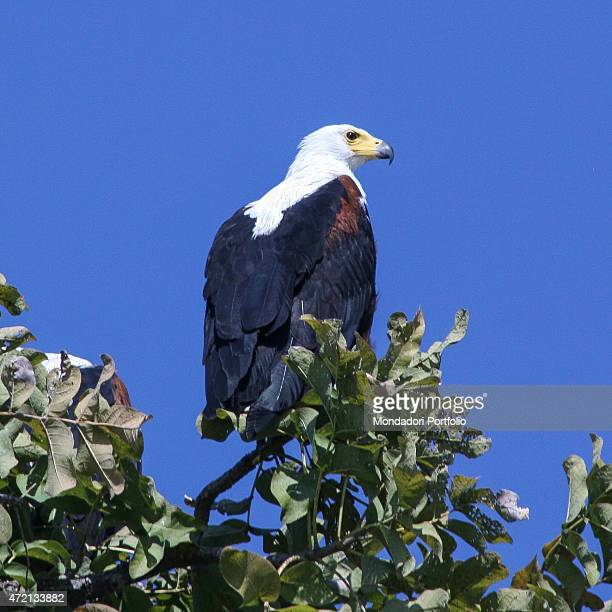 'Fish eagle waiting for the prey Africa Zambia South Luangwa August 2014 '