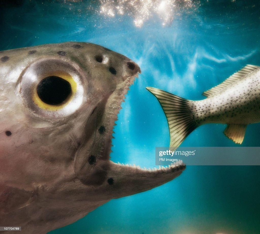 Fish Eating Fish : Bildbanksbilder