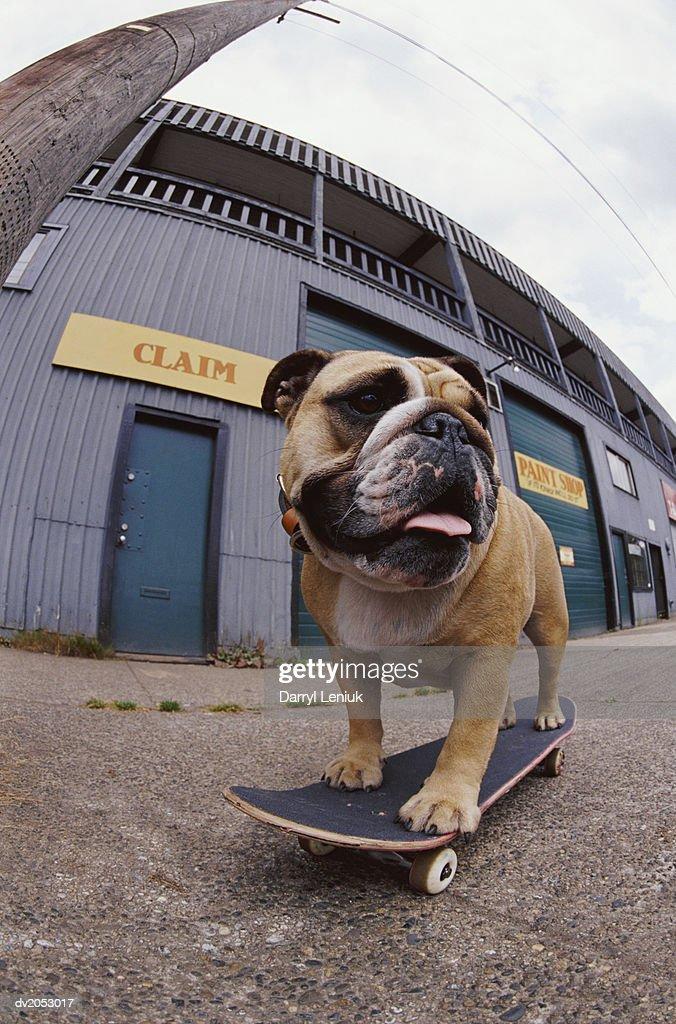 Fish Eye Lens Shot of a Skateboarding Bulldog : Stock Photo