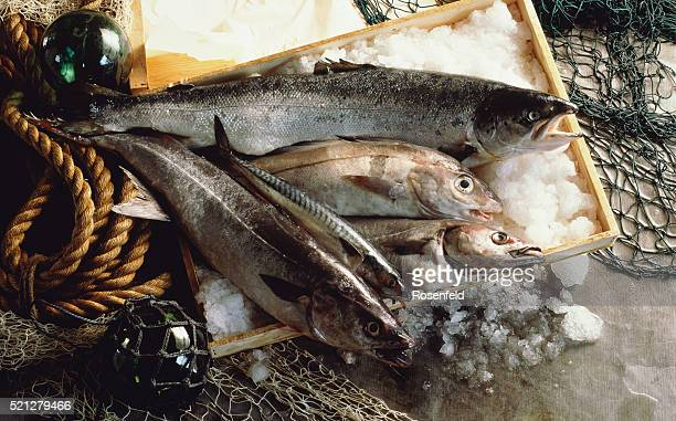 Fish Food Salmon Mackerel Haddock Key on ice