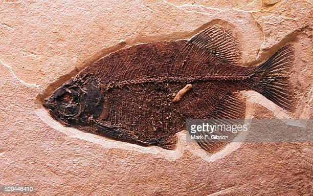 fish fossil - natural history museum stock pictures, royalty-free photos & images