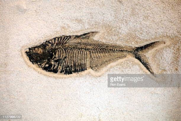 fish fossilised preserved remains over millions of years - fish skeleton stock photos and pictures