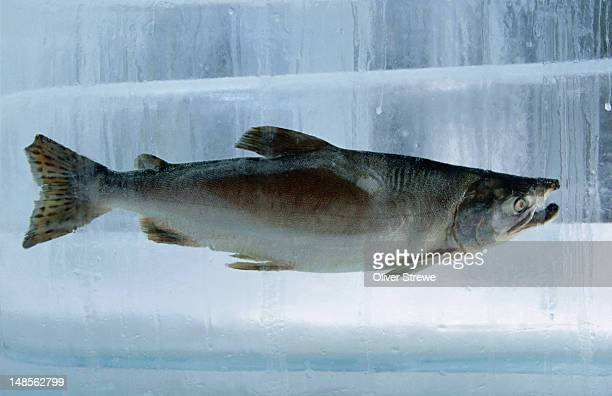 Fish frozen in ice for the Sapporo Yuki Matsuri (snow festival) where hundreds of visitors come to admire the amazing ice sculptures and carvings