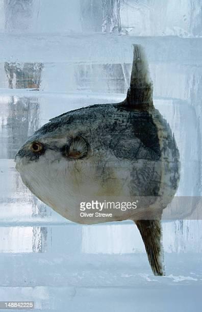 Fish frozen in ice scultpure for the Sapporo Yuki Matsuri (snow festival)