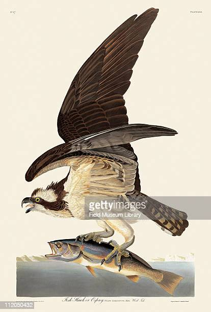 Fish Hawk or Osprey Plate 81 in John James Audubon's Birds of America late 1830s